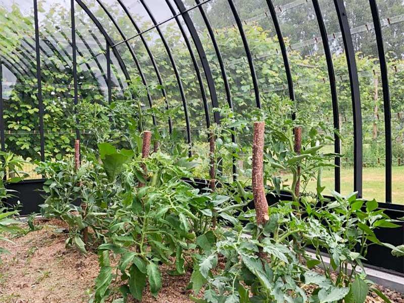 gezonde tomatenplanten binnenin de halfronde serre mooie gebogen smeedijzeren profielen